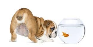 Tylni widok Angielski buldoga szczeniak, 2 miesiąca starego, gapi się przy goldfish w pucharu akwarium Zdjęcia Royalty Free