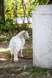 Tylni widok bezpański raniący i chory biały długowłosy tomcat obok betonowego ulicznego kubła na śmieci obrazy stock