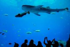 Tylni widok ludzie ogląda ryba w akwarium Fotografia Stock