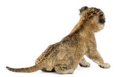 Tylni widok lwa lisiątka obsiadanie, 16 dni starych obraz royalty free