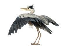 Tylni widok Popielaty Czapli łopotanie swój skrzydła, Zdjęcia Stock