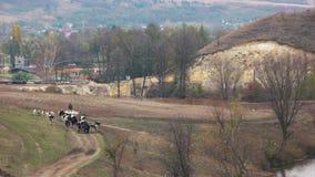 Tylni widok stado krowy chodzi od paśnika zdjęcie wideo