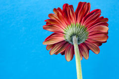 Tylny Gerbera stokrotki kwiat Zdjęcia Stock