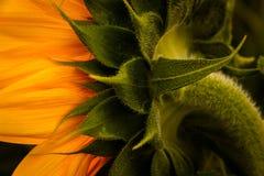 Tylny kąt słonecznik Obrazy Royalty Free