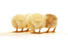 tylny kurczak Zdjęcia Stock