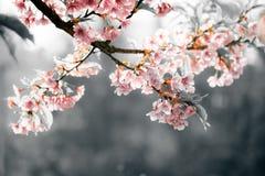 Tylny lekki Sakura kwiat lub czereśniowego okwitnięcia kwiat w wieczór Obrazy Royalty Free