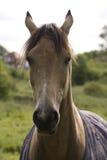 Tylny Lite podpalany koń, portreta strzał Obraz Stock