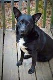Tylny pies na ganeczku Fotografia Stock