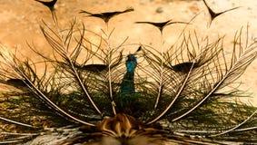 Tylny widok Indiański peafowl wystawiać zdjęcie stock