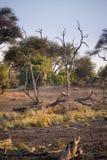 Tylny widok Opuszcza scenerię żyrafa, sawanna, Południowa Afryka Zdjęcia Royalty Free