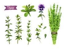 Tymiankowa roślina, gałązki, kwiaty i wiązki akwareli ilustracja z ścinek ścieżkami, royalty ilustracja