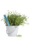 Tymiankowa roślina w blaszanym wiadrze odizolowywającym Obrazy Royalty Free