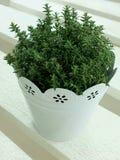 Tymiankowa roślina Zdjęcia Royalty Free