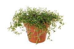 Tymiankowa roślina w Glinianym garnku zdjęcie stock
