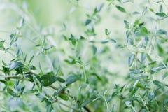 tymiankowi świezi liść Obraz Royalty Free