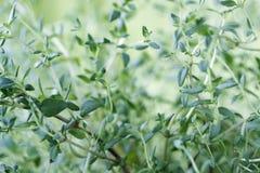tymiankowi świezi liść Zdjęcie Stock