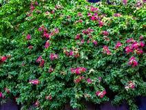 Tymiankowy kwiatu tła wzór Obraz Stock