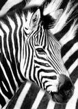 Typ des gestreiften afrikanischen Tieres, das einem Pferd ?hnelt lizenzfreies stockbild
