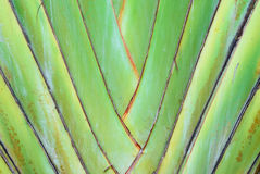 A type of banana leaves cascaded like a blow Stock Image