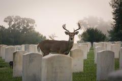 type Blanc-suivi de cerfs communs Photos libres de droits