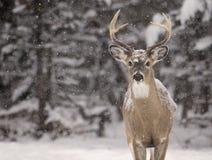type Blanc-suivi de cerfs communs Images stock