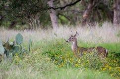 type Blanc-suivi de cerfs communs Photographie stock libre de droits