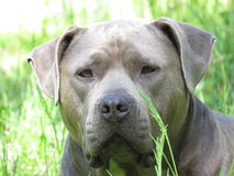 type bleu chien de pitbull Photos stock