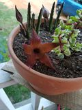 Hairy starfish bloom stock photography