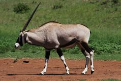 Type d'antilope de Gemsbok Image stock