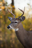 Type de cerfs communs de Whitetail image stock
