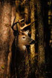 Type de cerfs communs de Whitetail Photo libre de droits