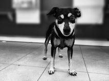 Type de jeunes de pincher de chien noir photo libre de droits
