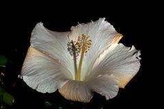 Type de ketmie Rosa, beige et crémeux photo libre de droits