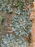 Type foliolé lichen s'élevant sur l'écorce d'arbre en forêt d'Aspen Parkland, Canada images libres de droits