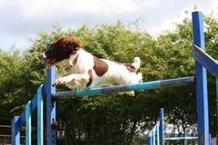 Type fonctionnant épagneul de springer anglais sautant par-dessus un saut agilty Photos libres de droits