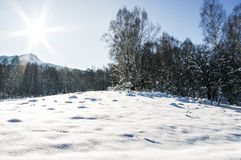 Type in a forest glade in the mountains, sunlit winter Stock Image