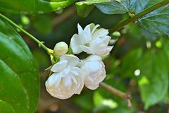 White Jasmine flowers on a green leafed plant. This type of Jasmine gives a beautiful fragrance and can be seen all throughout Sri Lanka royalty free stock image