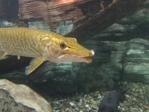 Golden pike type fish royalty free stock image
