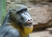 Mandrill. Baboon. This type of Primate family of monkeys. Mandrils are the largest representatives of the family of baboons royalty free stock photography
