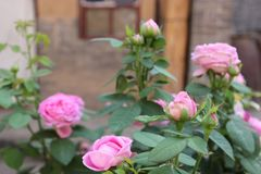 A type of rose,flowers royalty free stock images
