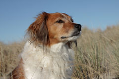 Type rouge chien de colley de moutons de ferme se tenant sur le sable du Photo stock