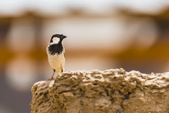 Type of sparrow. Stock Images