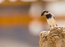 Type of sparrow. Royalty Free Stock Photo