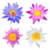 Type van lotusbloem Stock Afbeelding