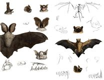 The types and anatomy of bats. Royalty Free Stock Images