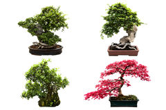 Types of bonsai trees isolated on white. Nice set of four bonsai trees isolated on a white background Royalty Free Stock Photos