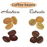 Types of coffee beans. Arabica and robusta coffee beans. Green and roasted. Vector illustration Royalty Free Stock Image