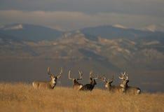 Types de cerfs communs de mule de trophée Images libres de droits