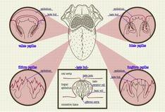 Types de modèle de couleurs de langue d'humain de bourgeons Image stock