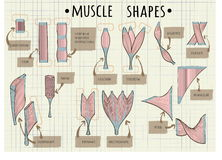 Types of human muscle. Illustration Royalty Free Stock Photos